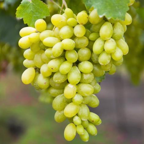 Виноград кишмиш Столетие изображение 1 артикул 7316