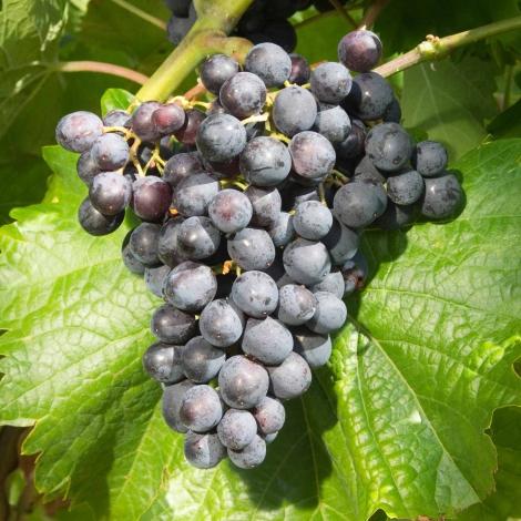 Виноград Мускат блау изображение 1 артикул 7352