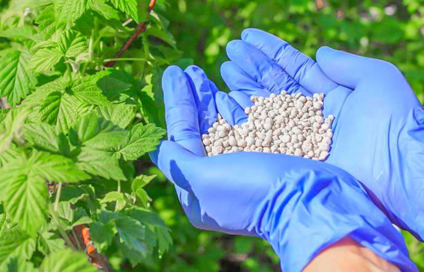 Подготовка малины к зиме фото 2