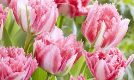 Тюльпан бахромчатый | Беккер