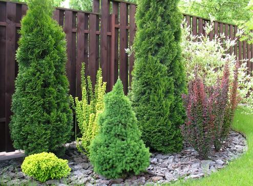 Каталог - -40% на хвойные растения - Беккер Россия